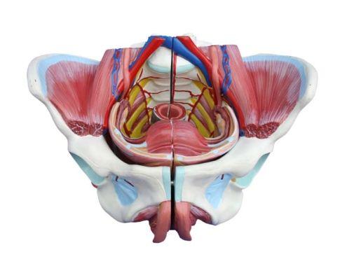 A31309 Kadın Genital Organ ve Pelvis Modeli 4 Parça