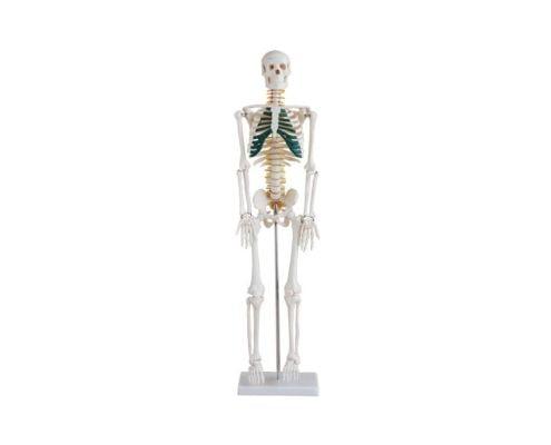 A10103 İnsan İskeleti Modeli Spinal Sinirli 85 cm