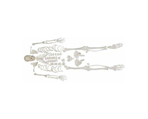 A10106 Parçalı İnsan İskeleti ve Kafatası Kemikleri Seti
