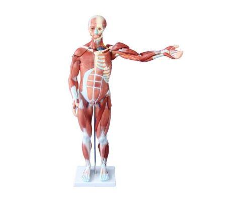 A20401 Kaslı Erkek Vücudu Modeli 80 cm 27 Parça